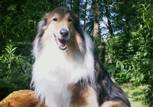 Kobbengatt Collies Bobby